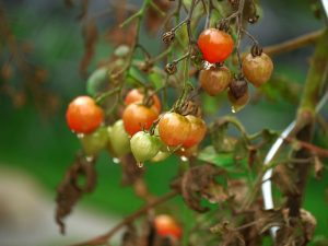 5 Signs of Overwatered Tomato Plants – And How To Save Them