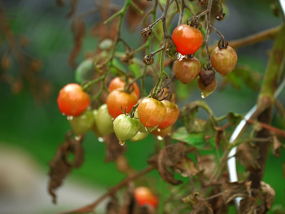 Signs of Overwatered Tomato Plants